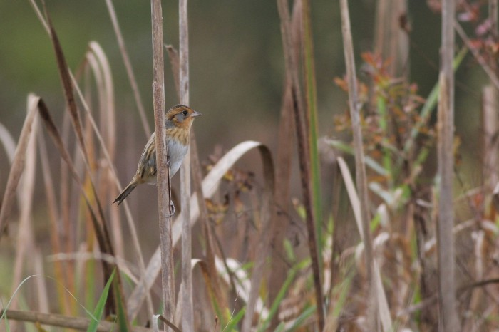 My first view of the Nelson's Sparrow (Photo by Alex Lamoreaux)