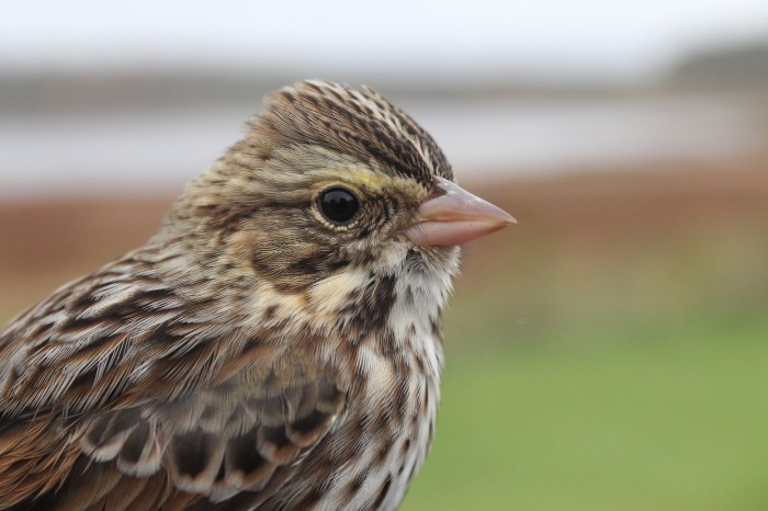 Savannah Sparrow (Photo by Alex Lamoreaux)