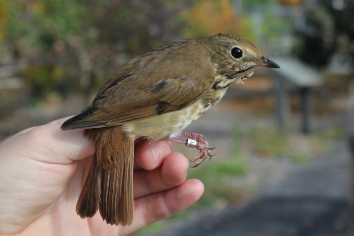 Hermit Thrush (Photo by Alex Lamoreaux)