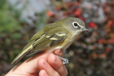 Blue-headed Vireo (Photo by Jean Miller)