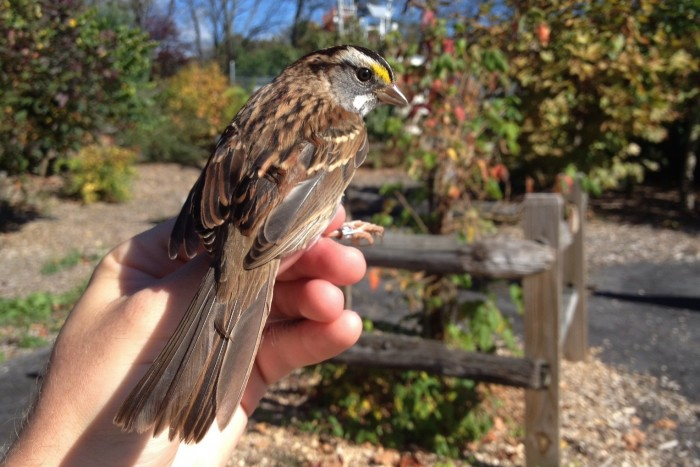 White-throated Sparrow (Photo by Alex Lamoreaux)