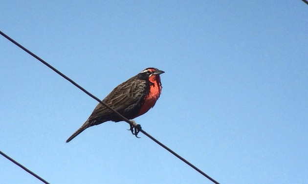 Long-tailed Meadowlark digiscoped with Leica APO-Televid 82 and iPhone 5s in Barioche Argentina (Mike Lanzone)