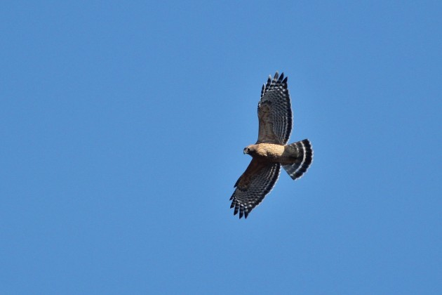 Red-shouldered Hawk - adult soaring above the hawkwatch (Photo by Alex Lamoreaux)