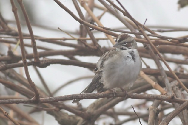 Lark Sparrow at Cape Henlopen SP (Photo by Alex Lamoreaux)
