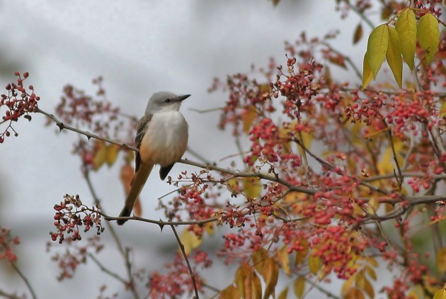 Scissor-tailed Flycatcher - adult (Photo by Alex Lamoreaux)