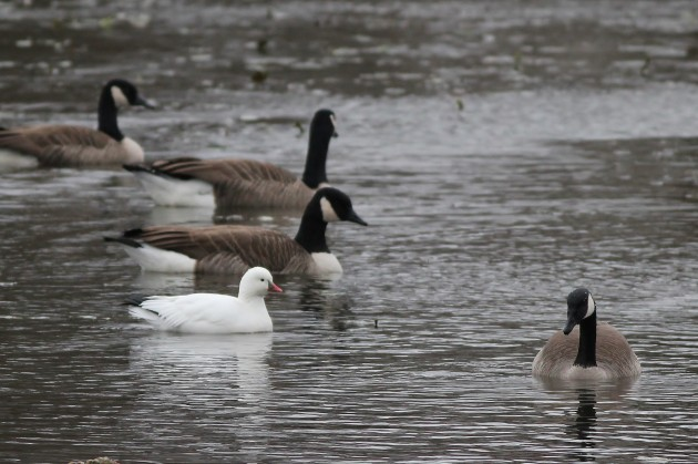 Ross's Goose - adult at Highspire Park, PA (Photo by Alex Lamoreaux)
