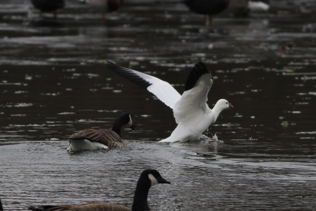 Ross's Goose being bothered by a Canada Goose at Highspire Park, PA (Photo by Alex Lamoreaux)
