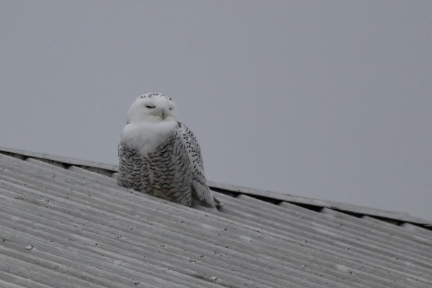 Snowy Owl - Berks County, PA (Photo by Alex Lamoreaux)