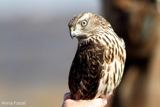 Northern Goshawk -juvenile; note nictating membrane over eye (photo by Anna Fasoli)