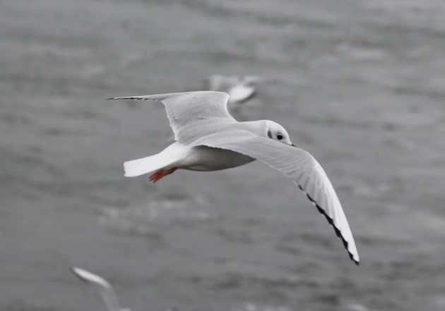 Gratuitous picture of a Bonaparte's Gull with his feet out - Squaw Island 11/12/13 (photo by Steve Brenner)
