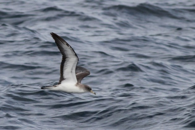 Scopoli's Shearwater - Calonectris diomedea diomedea (Photo by Alex Lamoreaux)