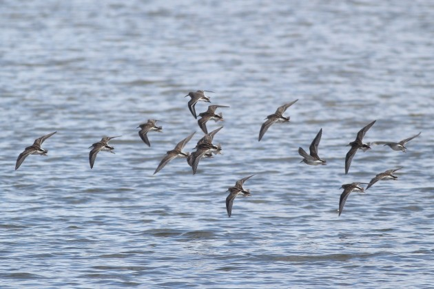 Dunlin mixed with 14 Pectoral Sandpipers, flying across Somerset Lake (Photo by Alex Lamoreaux)