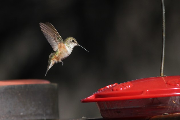 Rufous Hummingbird - immature female (Photo by Alex Lamoreaux)