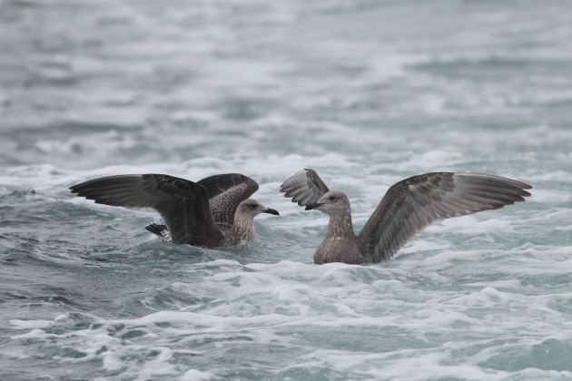 Lesser Black-backed (left) and Herring Gull - both 1st winter birds (Photo by Alex Lamoreaux)