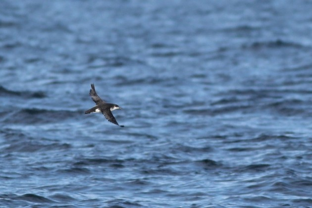The closest Manx Shearwater of the day (Photo by Alex Lamoreaux)