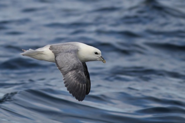 Northern Fulmar - light type (Photo by Alex Lamoreaux)