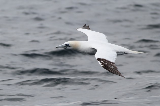 Adult Northern Gannet staring us down as it passes the boat (Photo by Alex Lamoreaux)