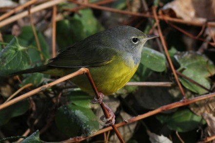 MacGillivray's Warbler attempting to overwinter in PA (Photo by Alex Lamoreaux)