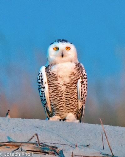 Florida Snowy Owl (JC Knoll - www.jcknoll.com)
