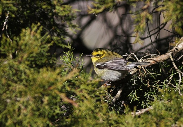 Townsend's Warbler foraging in cedars at Cape May Point, NJ last January (Photo by Alex Lamoreaux)