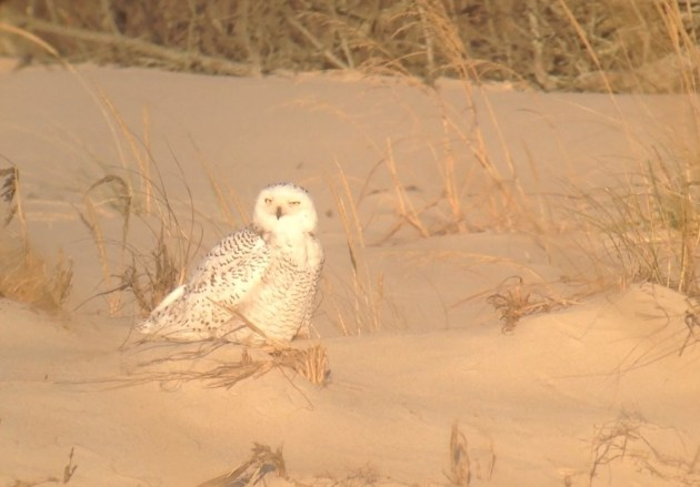 Snowy Owl at the Indian River Life-Saving Station in Sussex County, DE on 30 November 2013. Photo by Tim Schreckengost.