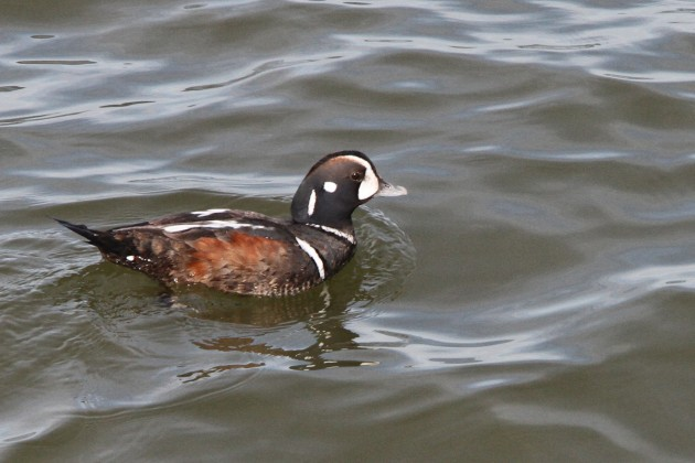 Male Harlequin Duck (Nathan Goldberg)