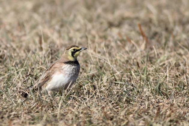 One of 7 Horned Larks - Hammonasset Beach SP (Photo by Alex Lamoreaux)