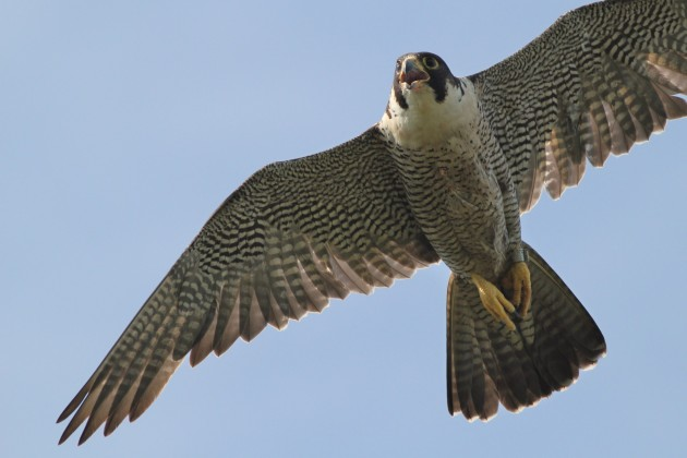 Peregrine Falcon - adult (Photo by Alex Lamoreaux)
