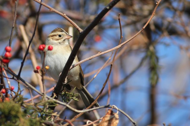 Clay-colored Sparrow - Hammonasset Beach SP (Photo by Alex Lamoreaux)