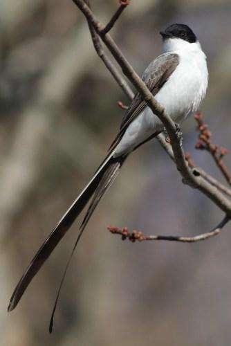Fork-tailed Flycatcher (Photo by Alex Lamoreaux)