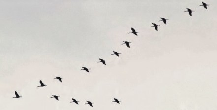 16 Sandhill Cranes migrating over Centre County in December (Photo by Alex Lamoreaux)