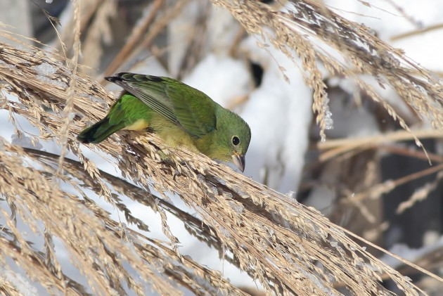 Immature male Painted Bunting at Cape May Point (Photo by Alex Lamoreaux)
