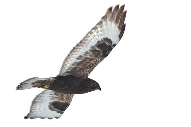 Rough-legged Hawk - immature dark type along I99, Blair County, PA (Photo by Alex Lamoreaux)