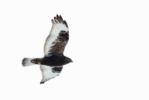 Rough-legged Hawk - immature dark type along I99, Blair County, PA (Photo by Alex Lamoreaux)