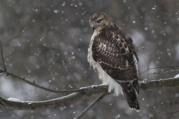 Red-tailed Hawk - Immature hunting along the road near Curwensville Dam (Photo by Alex Lamoreaux)