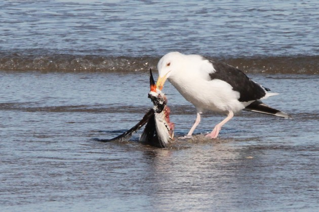 Great Black-backed Gull eating a Black Skimmer