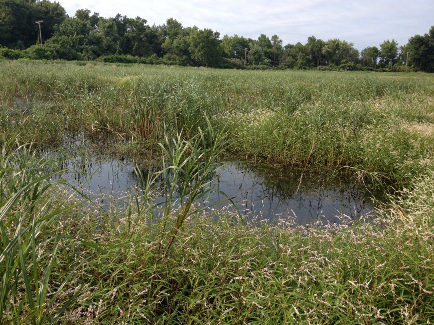 This kind of interspersion of different kinds of plants and open water is ideal for Rails. (Squaw Creek National Wildlife Refuge, Mound City, MO) (Auriel Fournier)