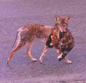 Coyote with recently killed domestic cat. I don't think Snickers is playing.