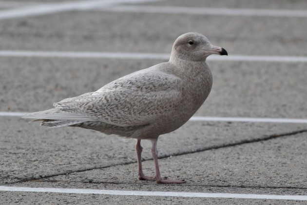 Glaucous Gull during a lunch break (Photo by Alex Lamoreaux)