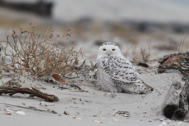 The Snowy I was most excited to see - my first in Cape May County! Roosting along the dunes at Stone Harbor, NJ. (Photo by Alex Lamoreaux)