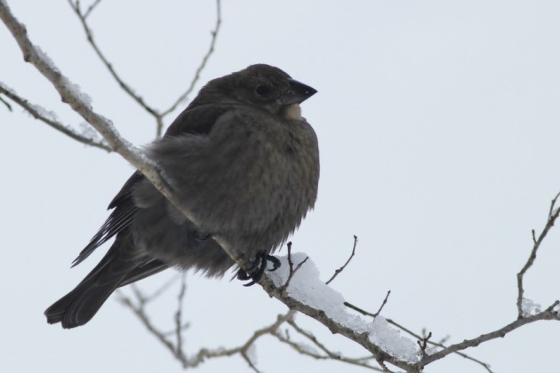 Brown-headed Cowbird near a feeder at Cape May Point (Photo by Alex Lamoreaux)