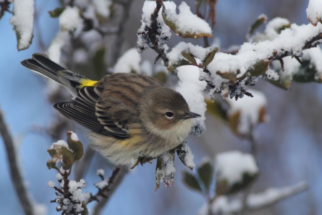 One of many Yellow-rumped Warblers searching for food around the state park. (Photo by Alex Lamoreaux)