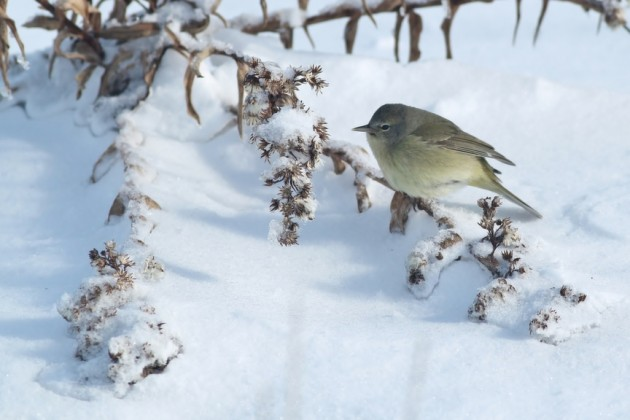 Orange-crowned Warbler foraging in the snowy dunes (Photo by Alex Lamoreaux)