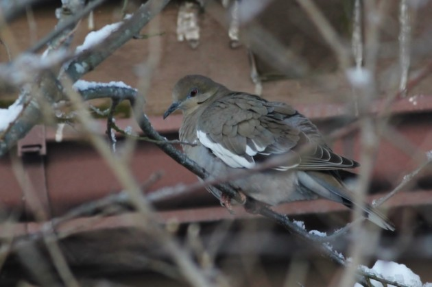 White-winged Dove at Cape May Point (Photo by Alex Lamoreaux)