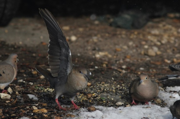White-winged Dove showing a Mourning Dove who's the boss (Photo by Alex Lamoreaux)
