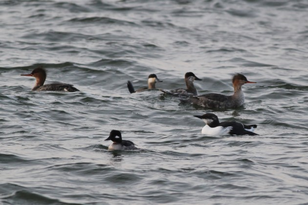 Common Murre with Ruddy Ducks, Bufflehead, and Red-breasted Mergansers (Photo by Alex Lamoreaux)