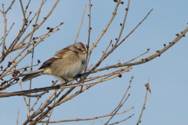 American Tree Sparrow (Photo by Nathan Goldberg)