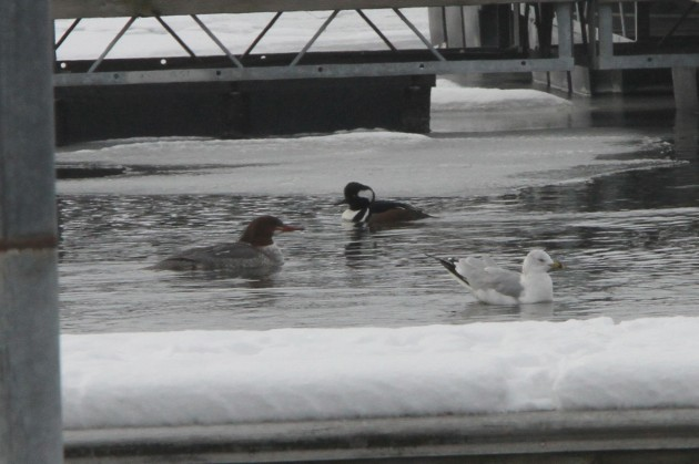 Female Common Merganser, male Hooded Merganser, and a Ring-billed Gull (Photo by Nathan Goldberg)