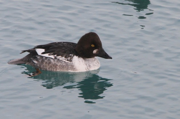 Common Goldeneye (Photo by Nathan Goldberg)