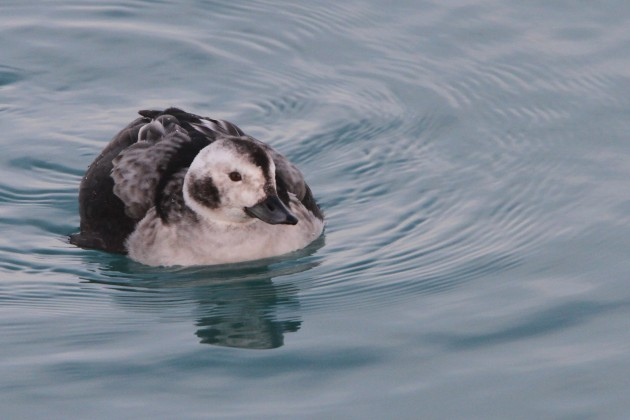 Female Long-tailed Duck (Photo by Nathan Goldberg)